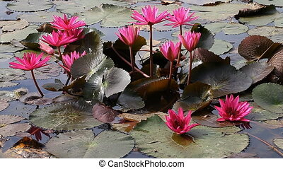 Lotus - the sacred flower of Buddhism FULL HD