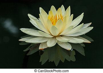 lotus, usines, fleur