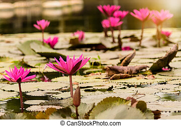 Lotus (water lily) flowers in the lake with morning lighting