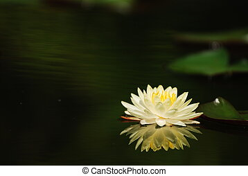Lotus - Water lotus waterlily aquatic flower plant in pond