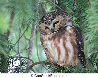 loucher, saw-whet, nord, hibou