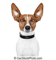 loucos, cão, com, grande, preguiçoso, olhos