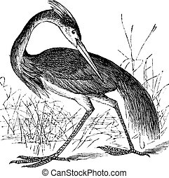 Louisiana Heron (Ardea ludoviciana) or Tricolored Heron...