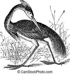 Louisiana Heron (Ardea ludoviciana) or Tricolored Heron (Egretta tricolor) vintage engraving