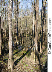 Louisiana Swamp - cypress stumps and trees in a Louisiana...
