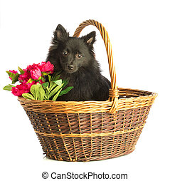 loulou from Pomerania in a basket with flowers