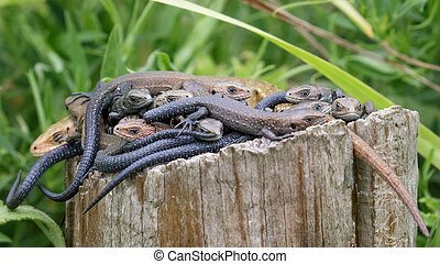 Lounge of Lizards (Zootoca vivipara) - Common Lizards...