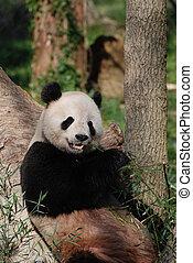 Lounging Giant Panda Bear With a Shoot of Bamboo