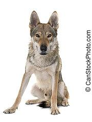 loup, chien, czechoslovakian