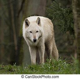 loup, curieux