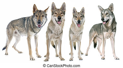 loup, czechoslovakian, chiens