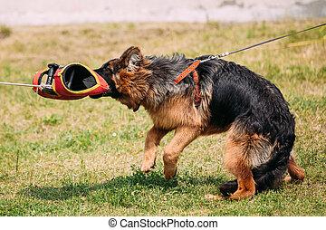 loup, dog., scène, chevelu, berger, gant, attaque, empoigner, alsacien, formation, allemand, chien