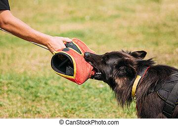 loup, dog., scène, chevelu, berger, prise, gant, attaque, alsacien, formation, allemand, chien