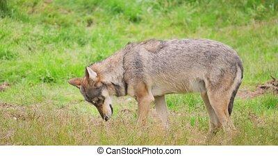 loup, forêt, viande, champ, manger