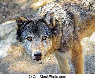 loup gris, portrait