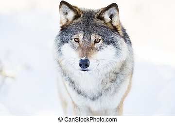 loup, hiver, stands, beau, forêt