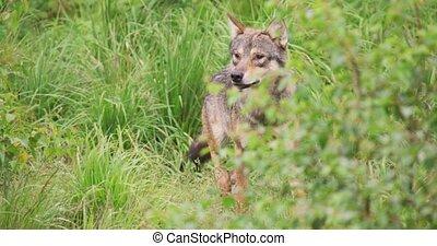 loup, marche, forêt, champ