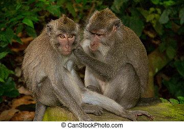 Lousing macaque monkeys