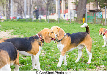 lovable beagle dogs enjoying playing in park