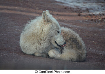 Lovable Small White Wolf Resting On A Beach