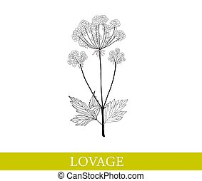 Lovage isolated on white. vector illustration.