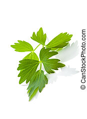 Lovage leaf. - Culinary aromatic herbs. Fresh lovage branch ...