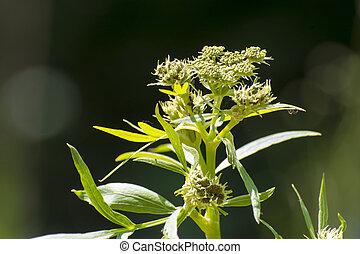Lovage (Levisticum officinale) - Flowers of garden lovage (...