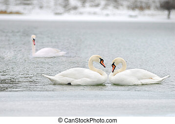 love and fidelity of the swans - two is company, but three...