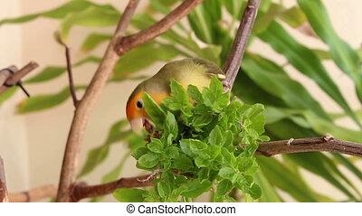 love bird eating food
