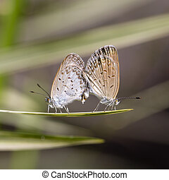 Love couple butterfly, mating pair of butterflies, close up. Bali, Indonesia