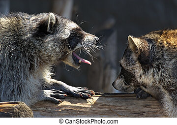 Love marriage games of raccoons