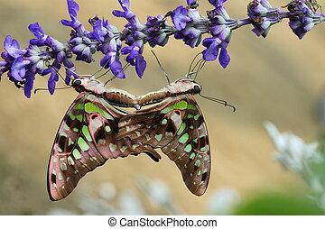 Love of butterfly (Monarch)