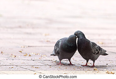 Love of two pigeons on the sidewalk