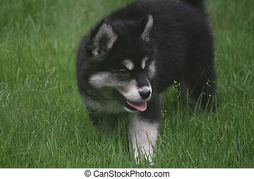 Loveable siberian husky playing in a field of grass