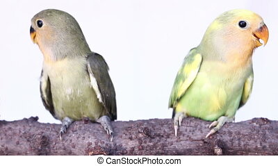 lovebird are just sitting - lovebird are just flying from...