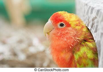Lovebird.