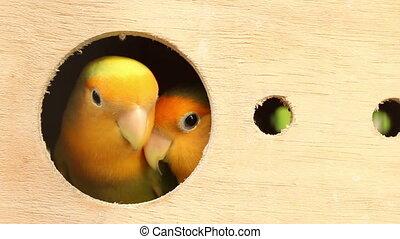 lovebird in wood box
