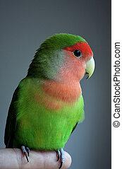 Lovebird Parrot sitting on a finger