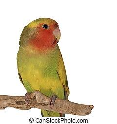 Lovebird, rosy faced lovebird