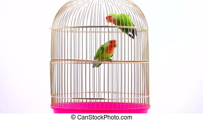 lovebirds on a white background