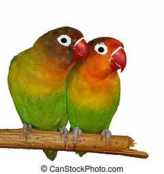 Lovebirds isolated on white Agapornis fischeri (Fischer's ...