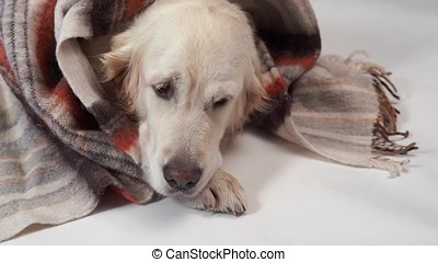 loved pets at home - the big kind dog rests in the fall or in the cold winter under a rug