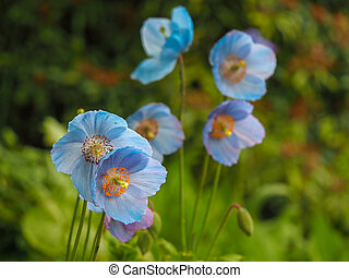 Lovely blue Meconopsis flowers or Himalayan poppies