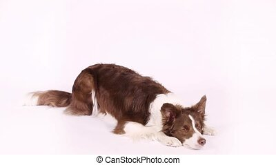"Lovely Border Collie dog performs the command ""bow"" - Lovely..."