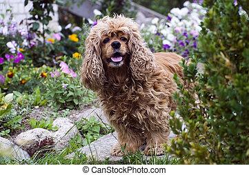 Cocker Spaniel  - Lovely braun dog-Cocker Spaniel