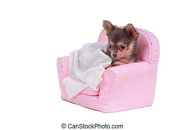 Lovely Chihuahua puppy lying on an armchair isolated on white background