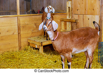 Lovely couple goats standing in wooden shelter and looking at the camera. Cute with funny. Close-up. Soft sunlight. Shallow depth of field farm