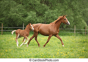 Lovely couple - mare with its foal - running togetheron pasturage