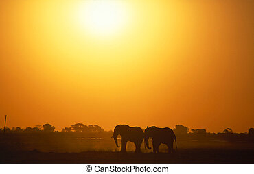 Lovely Couple - Two african elephant standing on a sunset
