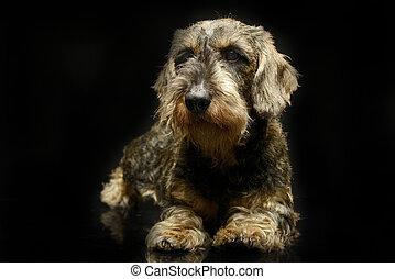 lovely dachshund in a black photo studio